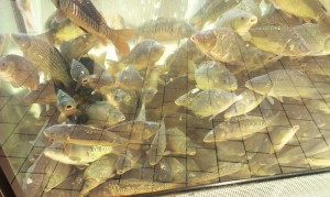 Карпы в магазинном аквариуме